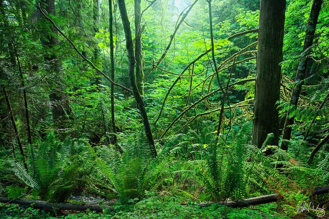 Temperate Rainforest - Capilano River Regional Park, North Vancouver, B.C., Canada