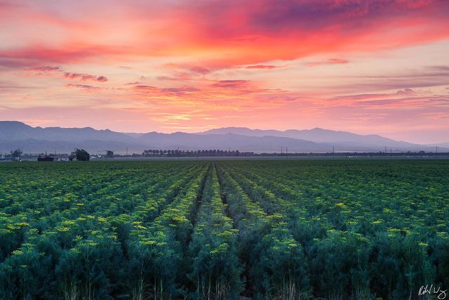 Bloom Dill Field at Sunrise, Coachella Valley, California, Photo