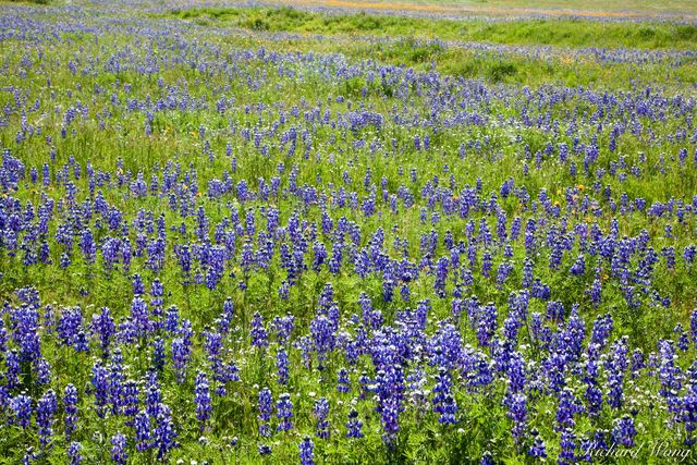 Lupine Spring Wildflowers near Arvin, Kern County, California, photo
