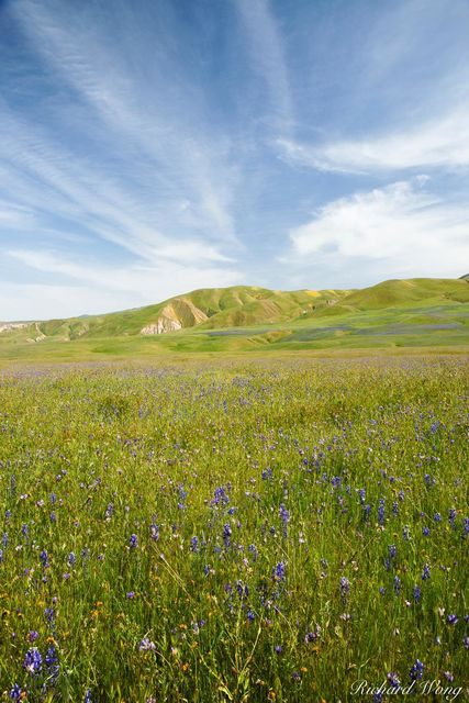 Lupine and Blue Dicks Wildflowers, Wind Wolves Preserve, California, photo