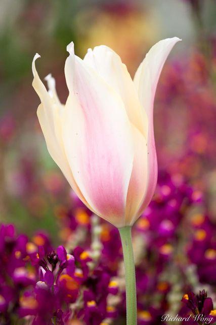Tulip Close-Up, Descanso Garden, California, photo
