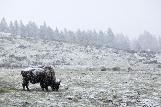 Bison Grazing in Spring Snow Storm Near Canyon Junction, Yellowstone National Park, Wyoming, photo