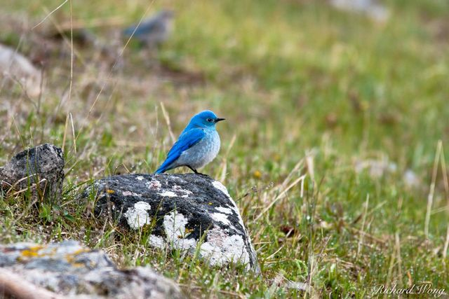 Mountain Bluebird, Yellowstone National Park, Wyoming, photo