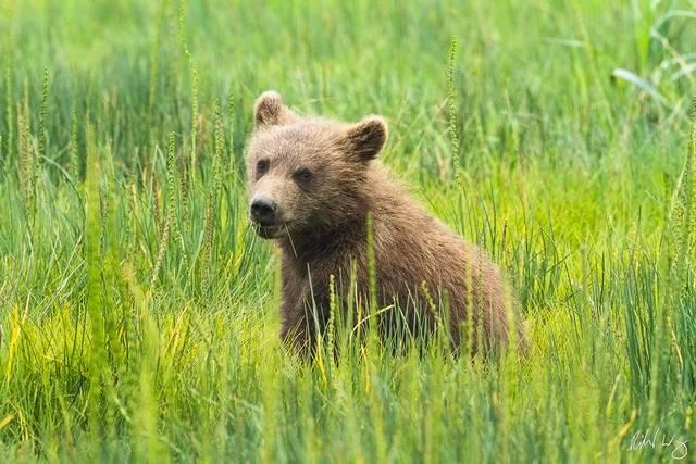 Grizzly Bear Cub print