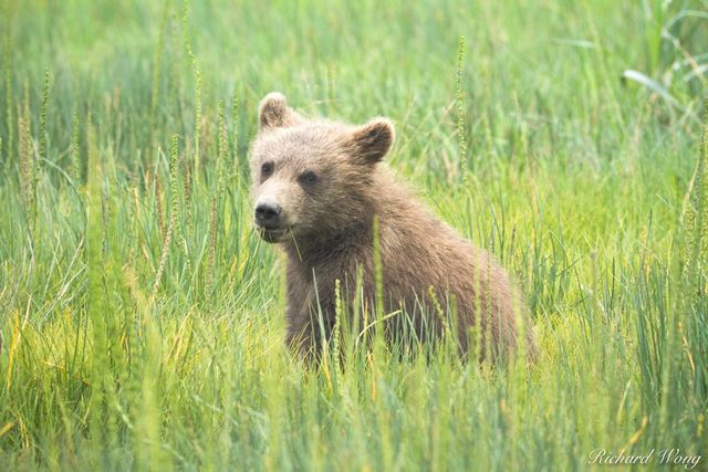 Grizzly Bear Cub Eating Grass in Meadow, Lake Clark National Park, Alaska, photo