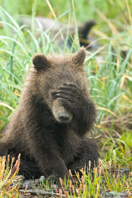 Grizzly Bear Cub Covering Face with Paw, Lake Clark National Park, Alaska, photo
