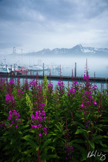 Purple Fireweed Wildflowers at Seward Boat Harbor, Seward, Alaska, photo