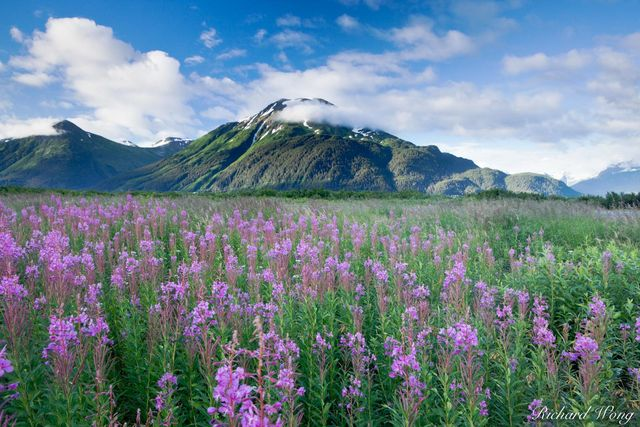 Fireweed Wildflowers Along Seward Highway, Chugach National Forest, Alaska, photo
