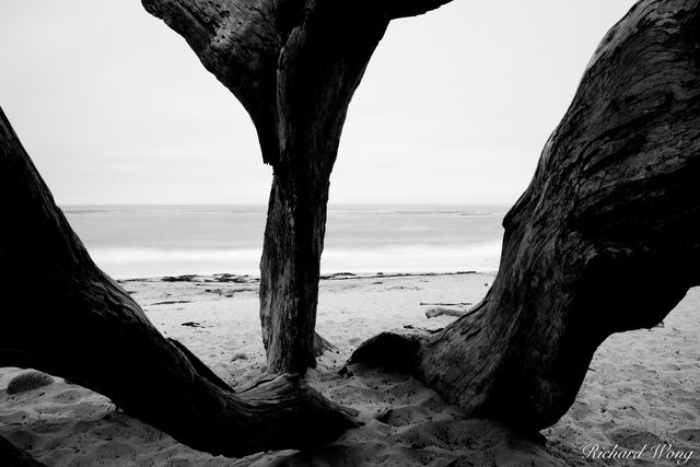 Black and White Photo of Monterey Cypress Tree Trunks at Carmel Beach, Carmel-by-the-Sea, California, photo