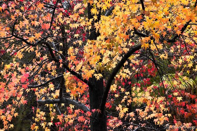 Fall Foliage, Angeles National Forest / Glendora, California, photo