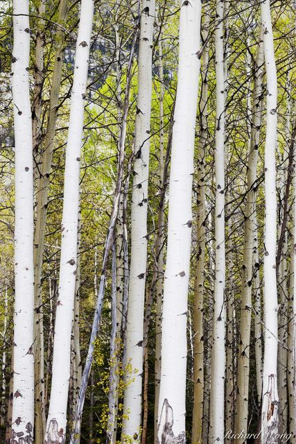 Aspen Trees Along Bow Valley Parkway, Banff National Park, Alberta, Canada, photo