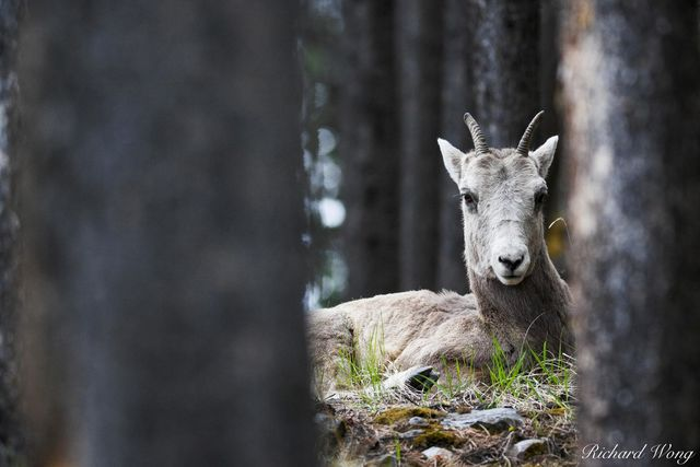 Female Bighorn Sheep (Ovis canadensis) in Forest, Banff National Park, Alberta, Canada, Photo