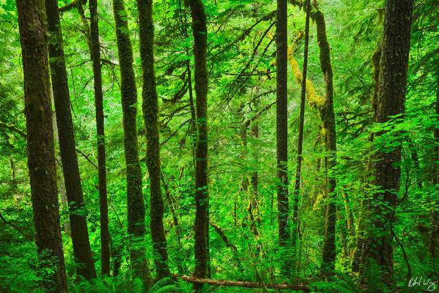 Temperate Rainforest in Eagle Creek, Columbia River Gorge National Scenic Area, Oregon, photo