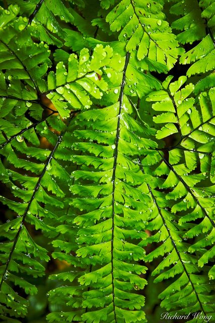 Fern with Waterdrops in Temperate Rainforest, Columbia River Gorge National Scenic Area, Oregon, photo