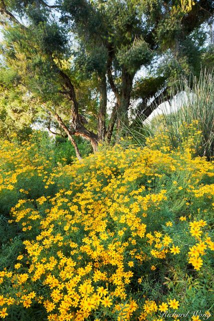 Blooming Yellow Chi Chi Flowers in Australian Garden at The Huntington, San Marino, California, photo