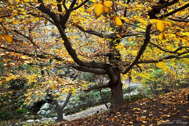 peter lik style tree photo, european hornbeam, fall foliage, japanese garden, the huntington, california
