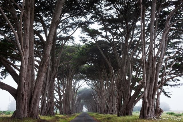 Monterey Cypress Tree Tunnel, Point Reyes National Seashore, California, photo