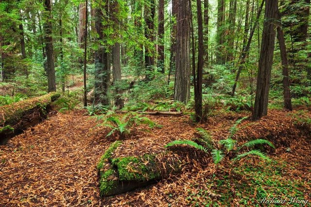 Humboldt Redwoods State Park Near Avenue of the Giants, California, photo