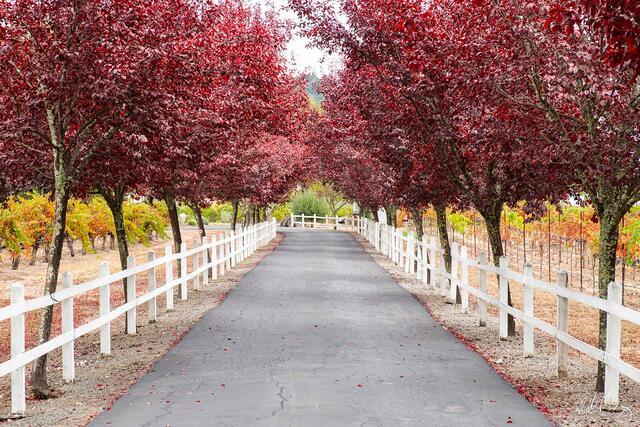 Tree-Lined Driveway During Fall Season, Calistoga, California, photo