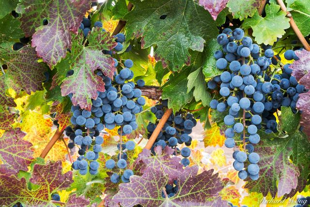 Vineyard Grapes in Fall Season From Alexander Valley, Healdsburg, California, photo