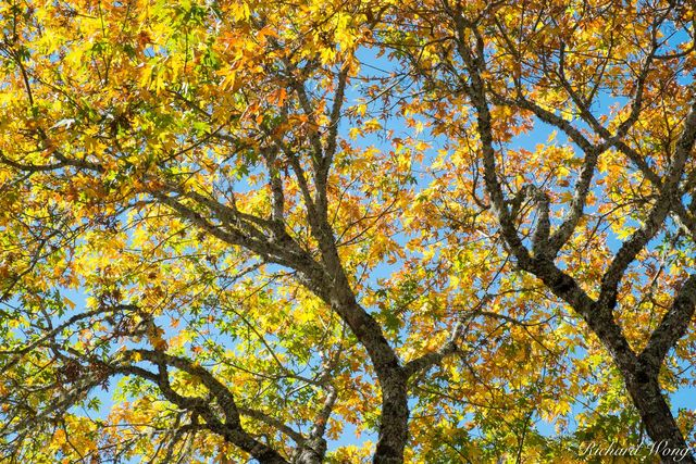 Tree With Fall Foliage, Calistoga, California, photo