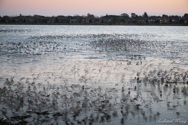 Thousands of Shorebirds Flying at Elsie Roemer Bird Sanctuary, Alameda, California, photo