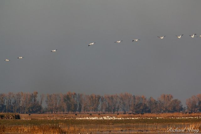 Snow Geese Flying, Merced National Wildlife Refuge, California, photo