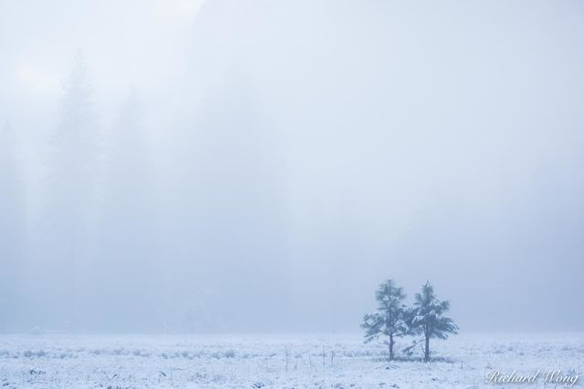 Pair of Young Trees in Cookís Meadow After Spring Snowstorm, Yosemite National Park, California, photo