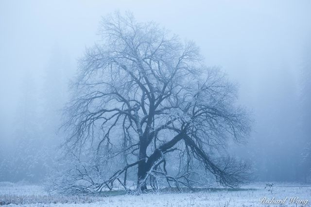 Elm Tree in Fog After Spring Snowstorm, Yosemite National Park, California, photo