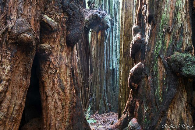 Burls on Old-Growth Coast Redwood Trees, Muir Woods National Monument, California, photo