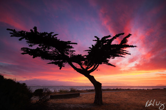 lonesome cypress tree, alameda, san francisco bay area, east bay, photo