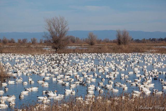 Wintering Pacific Flyway Waterfowl, Sacramento National Wildlife Refuge, California, photo