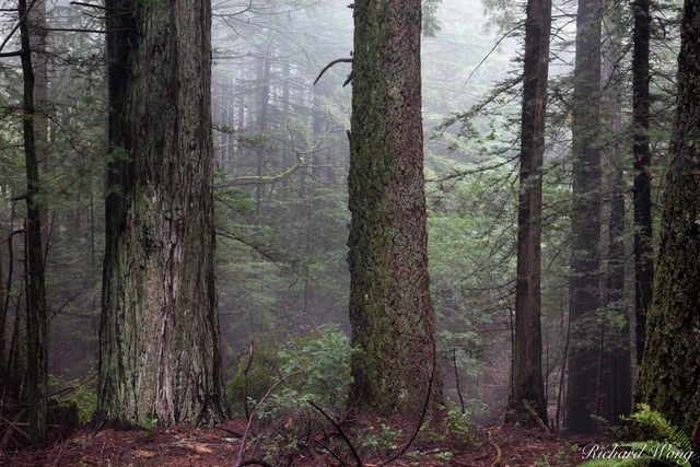 Redwood Forest in Fog, Mount Tamalpais State Park, California, photo