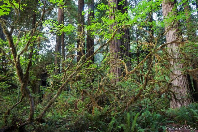 Dense Temperate Rainforest, Prairie Creek Redwoods State Park, California, photo