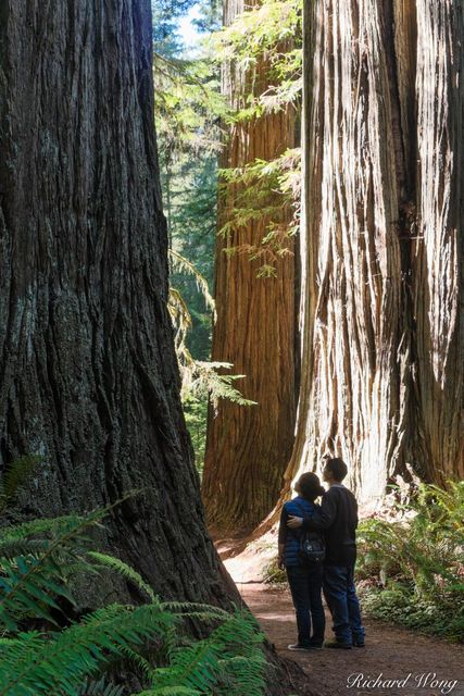 Married Couple Looking at Old-Growth Redwood Trees on Simpson-Reed Trail, Jedediah Smith Redwoods State Park, California, photo