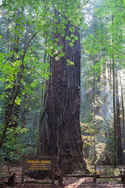 Parson Jones Tree, Coast Redwood, Armstrong Redwoods State Natural Reserve, California, Sonoma County, Guerneville, photo