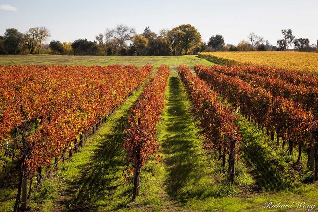 Dry Creek Valley AVA Vineyard Fall Colors, Healdsburg, California, photo