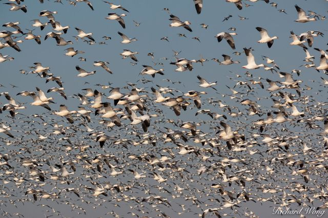 Birds in Flight, Merced National Wildlife Refuge, California, photo