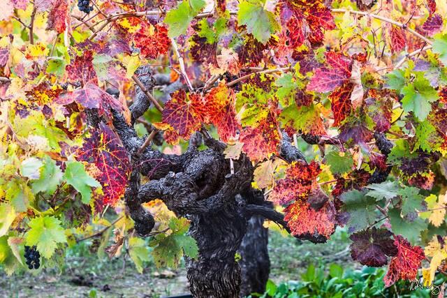 Old Grapevine and Fall Foliage, Napa Valley, California, photo