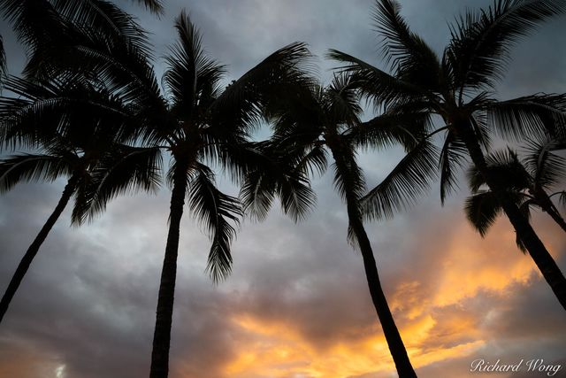 Palm Trees & Sunset at Waikiki Beach, Honolulu, Oahu, Hawaii, photo
