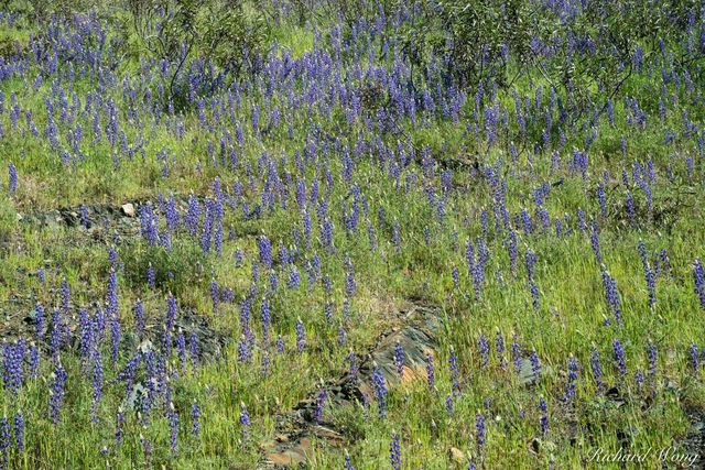 Lupine Spring Wildflowers, Tuolumne County, California, photo