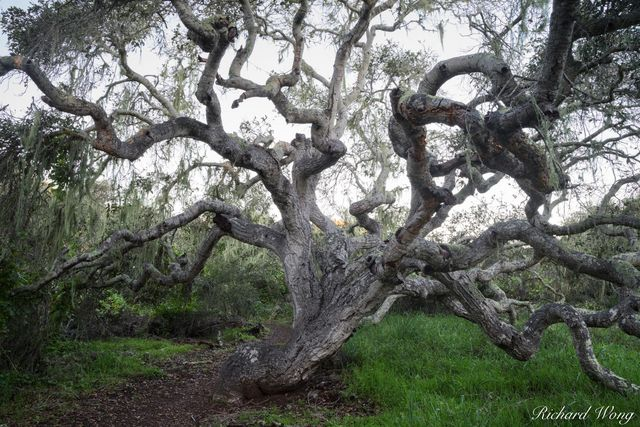 Moss-Draped Coast Live Oak Tree, Los Osos Oaks State Natural Reserve, California, photo