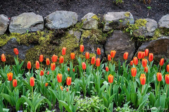 Tulips in Bloom, The Butchart Gardens, Vancouver Island, B.C, Canada, photo