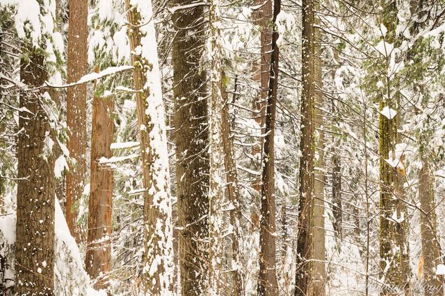 Giant Sequoia Forest Detail in Winter, Calaveras Big Trees State Park, California, photo