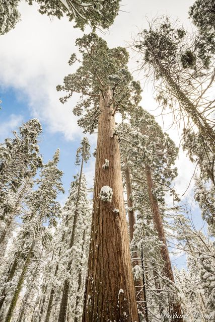 Giant Sequoia Trees After Winter Snowstorm, Calaveras Big Trees State Park, California, photo