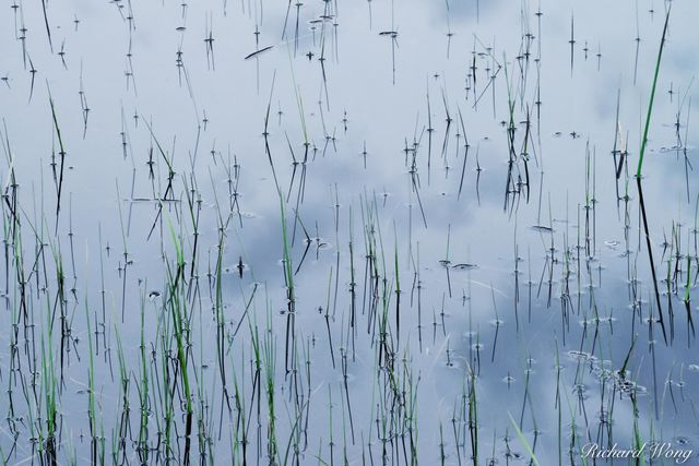 Grass in Pond / Madison River, Yellowstone National Park, Wyoming, photo