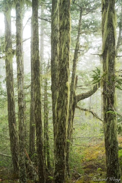 Temperate Rainforest / Morse Creek, Olympic National Park, Washington, photo