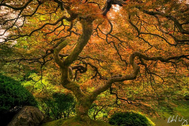 portland japanese garden maple tree photo