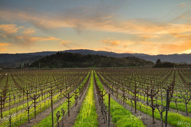 Yountville, California Vineyard Photo