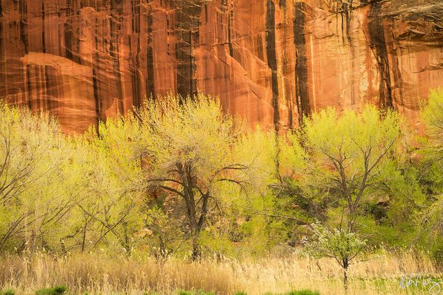 Cottonwood Trees & Sandstone, Capitol Reef National Park, Utah Photo